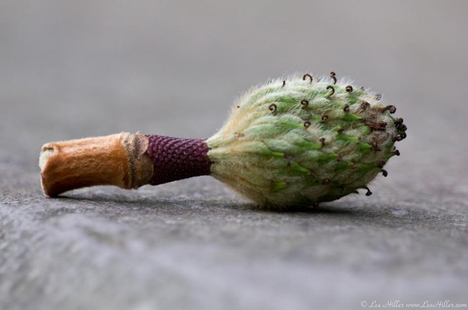 HSNP Magnolia Tree Seed Pod