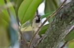HSNP Magnolia Tree Male House Sparrow