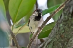 HSNP Magnolia Tree Male House Sparrow