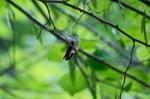 HSNP North Mountain Hummingbird Perched