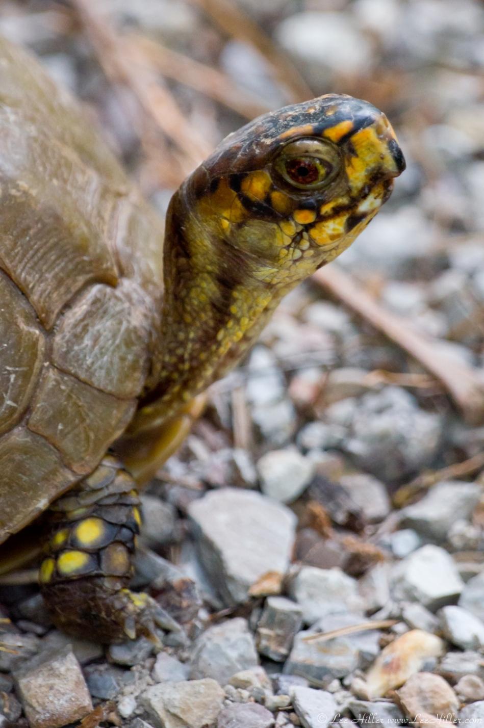 HSNP Upper Dogwood Trail Box Turtle