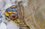 HSNP Upper Dogwood Trail Box Turtle