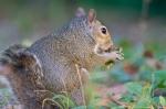 HSNP Fountain St Lawn Bob Tail Squirrel