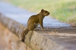 HSNP Fountain St Lawn Bob Tail Squirrel