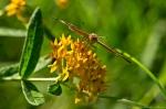 HSNP Promenade Common Buckeye on Butterfly Weed