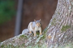 HSNP Promenade Squirrel