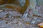 HSNP Arlington Lawn House Sparrow Chicks