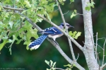 HSNP Fountain Street Lawn Blue Jay