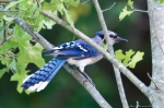 HSNP Fountain Street Lawn Blue Jay