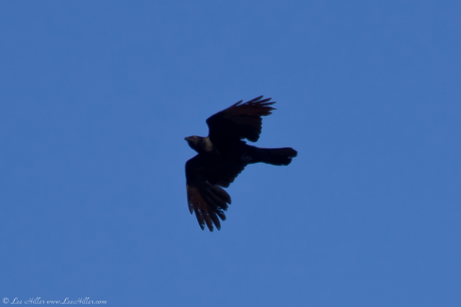 HSNP Aerial Duel Crow and Mystery Bird