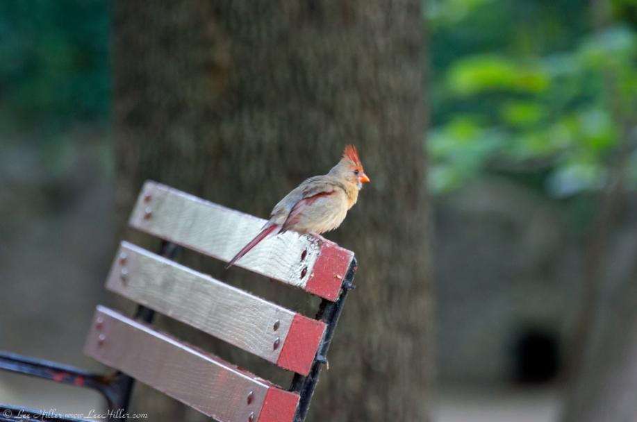 HSNP Promenade Female Cardinal