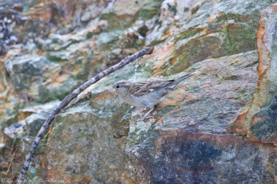 HSNP Promenade House Sparrow on the Rock