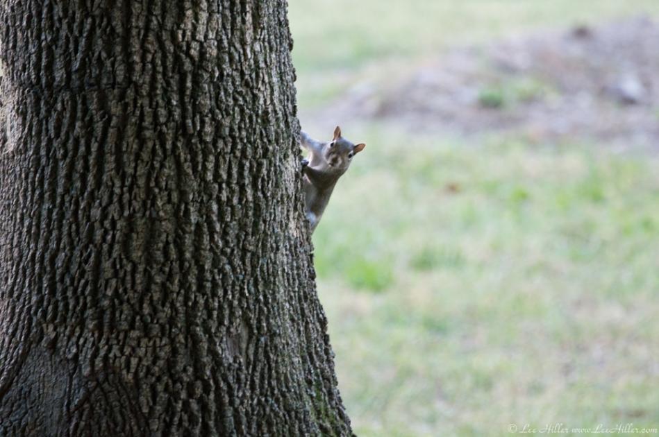 HSNP Promenade Tree Squirrel