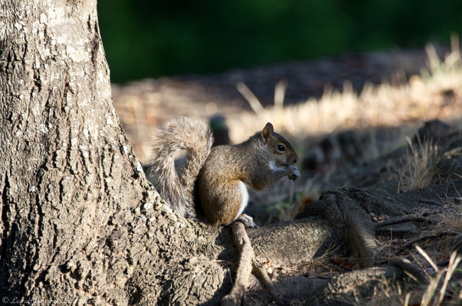 HSNP Promenade Tree Squirrel