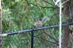 HSNP Promenade Squirrel on the Fence