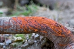 HSNP Promenade Orange Fungi on Downed Tree