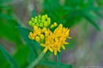 HSNP Promenade Yellow Butterfly Weed