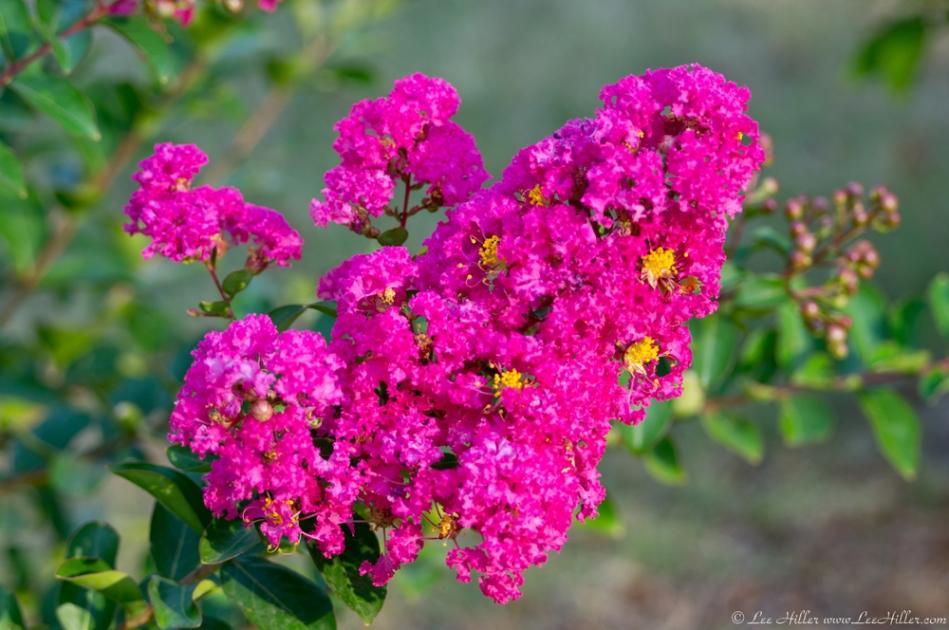 HSNP Tufa Terrace Bright Pink Flowering Bush