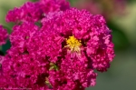 HSNP Tufa Terrace Bright Pink Flowering Bush