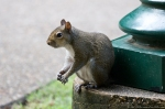 HSNP Arlington Lawn Bob Tail the Squirrel