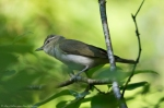 HSNP Fordyce Estate Sunset Trail Red-Eyed Vireo