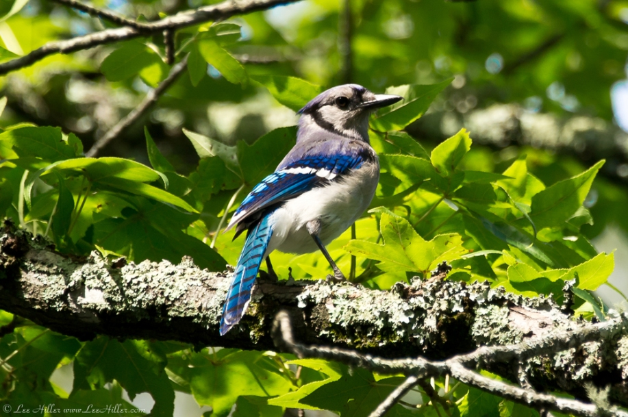 HSNP Gulpha Gorge Campground Blue Jay