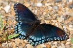 HSNP Gulpha Gorge Campground Butterfly