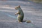 HSNP Gulpha Gorge Campground Squirrel