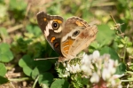 HSNP Hot Springs Mountain Rd Common Buckeye Butterfly
