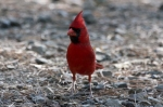 HSNP Hot Springs Mountain Top Male Cardinal