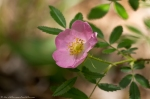 HSNP Hot Springs Mountain Trail Wild Rose