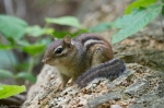 HSNP Lower Dogwood Trail Chipmunk