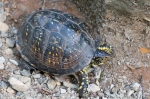 HSNP Peak Trail Box Turtle