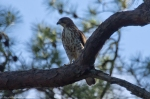 HSNP Peak Trail Coopers Hawk