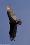 HSNP Tufa Terrace Trail Turkey Vulture In Flight