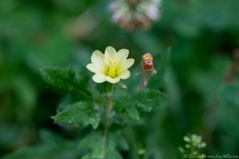 HSNP Floral Trail Spring Rain Yellow Wildflower