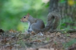 Hot Springs National Park Forests Edge Juvenile Squirrel