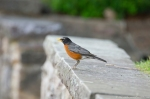 HSNP Fountain Street Lawn Wall Robin