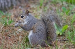 HSNP Fountain St Lawn Squirrel with Ticks