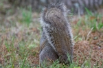 HSNP Fountain St Lawn Squirrel