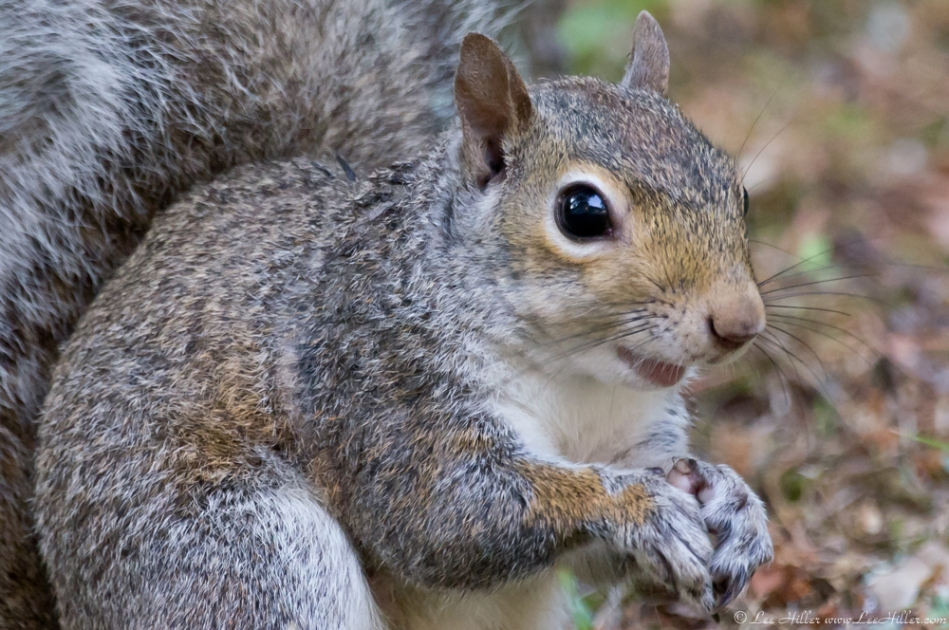 HSNP Fountain St Lawn Squirrel
