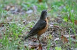 HSNP Hot Springs Mountain Road Robin