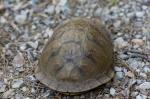 HSNP Hot Springs Mountain Trail Box Turtle Hiding