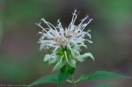 HSNP Hot Springs Mountain Trail Wild Bergamot
