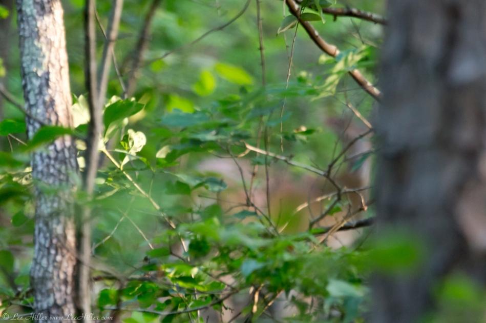 HSNP Lower Dogwood Trail Deer Ghost