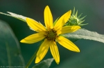 HSNP Lower Dogwood Trail Woodland Sunflower