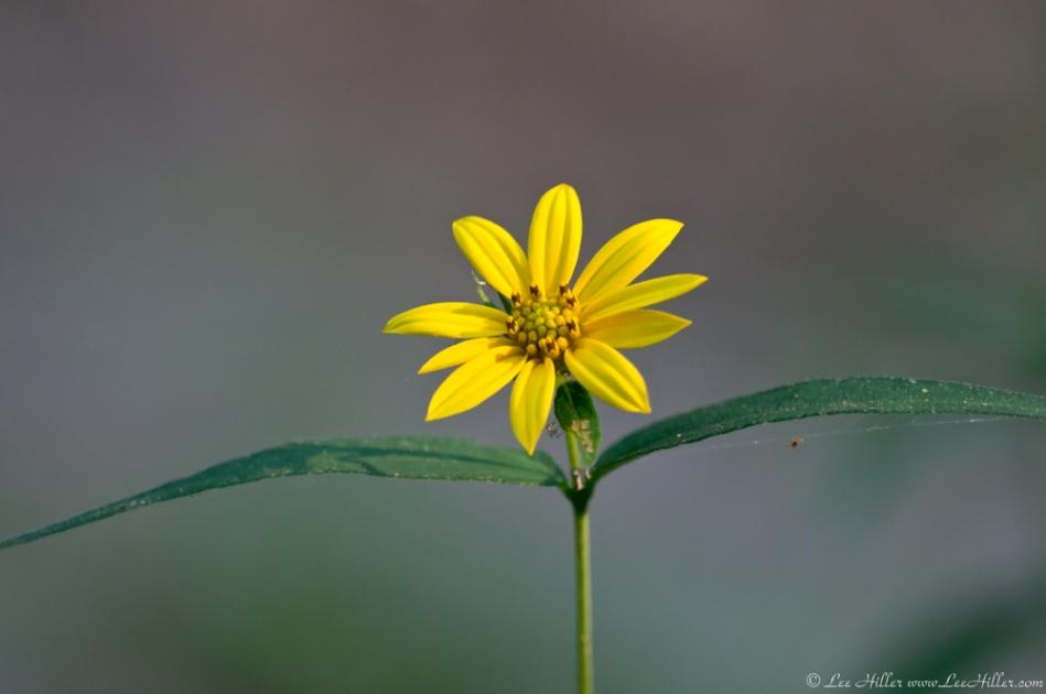 HSNP Lower Dogwood Trail Woodland Sunflower