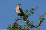 HSNP Promenade Hook Beak Mockingbird