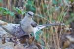 HSNP Promenade Juvenile Mockingbird