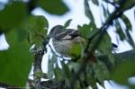 HSNP Promenade Mockingbird Chick